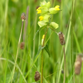 Yellow Rattle, an early flowering plant, helps in meadow creation