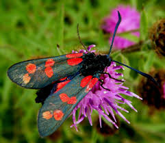 Burnet Moth on Knapweed flower