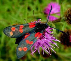 Burnet Moth on Knapweed flower