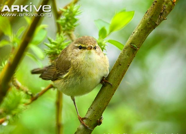 Willow-warbler-perching