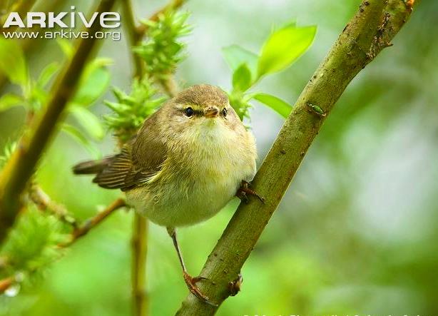 Willow-warbler-perching