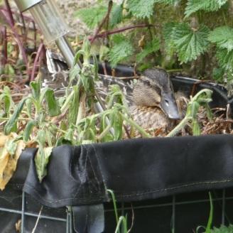 duck crop